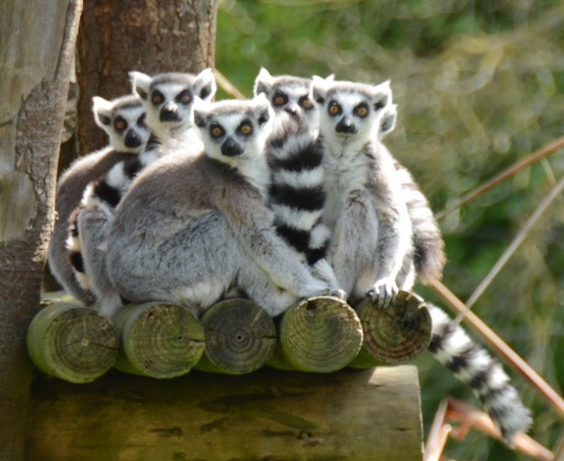Lemurs at Dublin Zoo