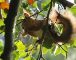 Red Squirrel eating nuts in tree on Killiney Hill, South County Dublin September 2013