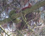 Red Squirrel in trees in Killiney during September 2013